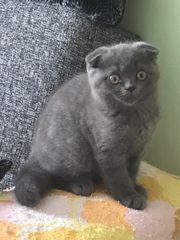 Kitten Faltenohr BKH