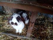 Verschiedene Rassen Kaninchen kastriete auch
