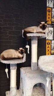 Siamesische Katze und Miezekatze