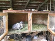 Kaninchen mit Hasenstall