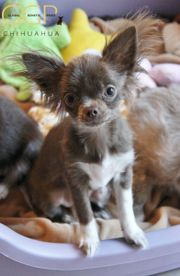 Chihuahua Mädchen in