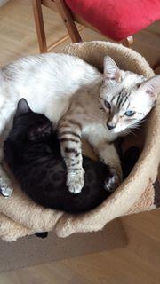 Bengal Zucht Katze