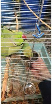vogel Pärchen halsbandsittich