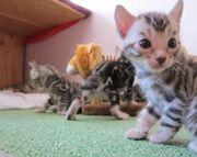 Bengal Katzenbabys, Super