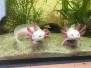 Junge Axolotl (11-