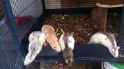 Vier Ratten Mädels,