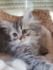 Perserkatzen-Babys Kitten mit Puppengesicht