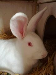 Kaninchen Riese Mix 7 Mon