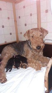 Airedale-Terrier-Welpen (
