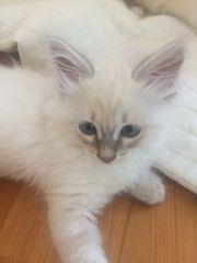 Traumhaft schöne Katzenbabys