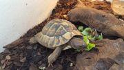 Griechische Landschildkröte - männlich