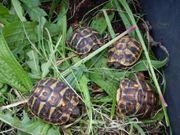 Sardische Landschildkröten