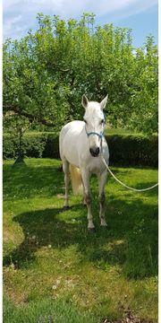 Holsteiner Stute, 13