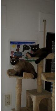 Katzenpaar abzugeben Siam-Kater und Siam