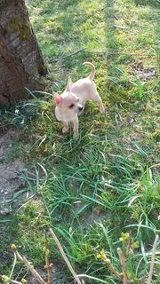 Chihuahua Babys Welpe Reinrassig