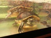 Wasserschildkröten Zuchtpaar Florida-
