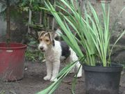 Foxsterier Hund 5