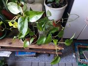 Zimmerpflanzen diverse ab