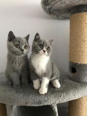 Reinrassige Bkh Kitten mit Stambaum