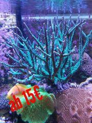 Korallenableger, SPS, LPS,