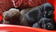 Labradorwelpen mit Papieren