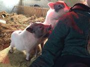 Minischwein Jungs abzugeben