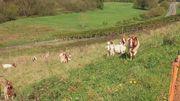 Buren-Ziegen zu