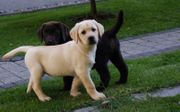 Labrador Welpen schwarz und gelb