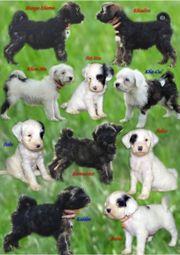 Tibet Terrier - Welpen