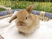 junges Kaninchen / Zwergkaninchen