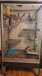 4 Ratten (Senioren)