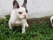 Französich Bulldogge- Rüde -Familienhund in