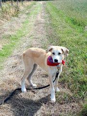 Emma Herdenschutzhund Labrador
