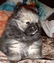Pomeranian Zwergspitz mischling Pomchi