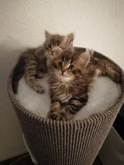 sofort! Main Coon