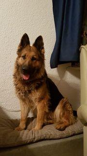 Schäferhund-Liebhaber aufgepasst - Dana sucht tolles