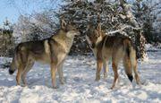 tschechische Wolfshunde Welpen
