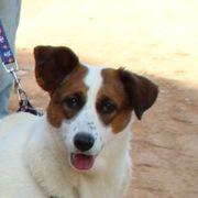 Nata, Beagle-Terrier
