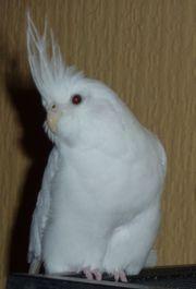 Weißer Nymphensittich in
