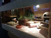Wunderschönes Terrarium mit 3 Leo