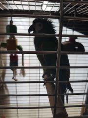 Rotbugara Papagei