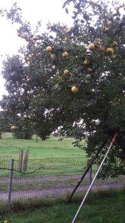 Bio Quitten direkt vom Baum