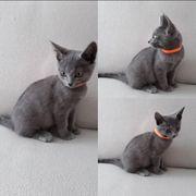 Siam Britisch Mix Kätzchen