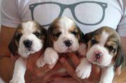 Beagle Welpen, tricolour,
