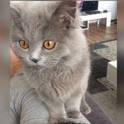 Britisch Langhaar Katze (
