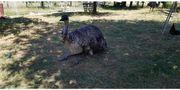 Emus, männlich 2