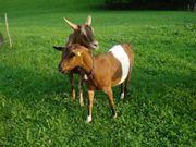 Schöne junge Ziege