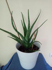Aloe Vera Pflanzen 2 groß