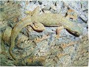 Hausgeckos abzugeben Gecko