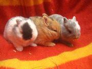 Minizwerge, Zwergkaninchen babys